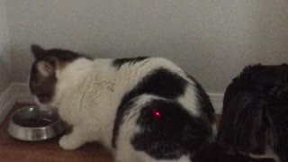 A confused dog, an annoyed cat and a laser pointer. - Video