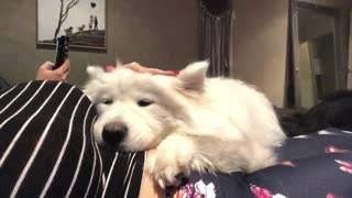 Isolation Samoyed therapy