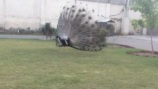 beaytiful peacock  - Video