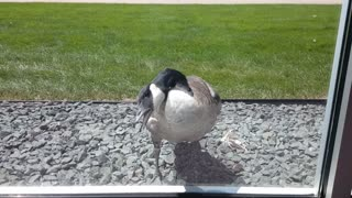 Goose attacks its own reflection  - Video