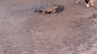 Tortoise and Corgi Playing Tag