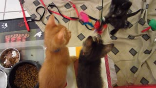 Three Super Cute Foster Kittens Hypnotized By Swinging Feather Rope Toy - 6 Weeks Old  - Video