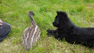Baby emu meets German Shepherd puppy