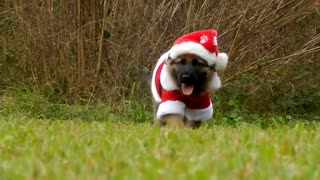 German Shepherd puppy is ready for Christmas - Video