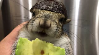Seymour the Squirrel Safely Eating Avocado