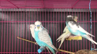 A cool and beautiful video of a group of budgies in a cage