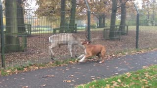 Boxer desperately wants to play with deer - Video