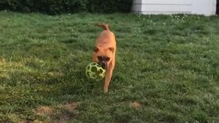 Brown dog jumps fetches green ball  - Video