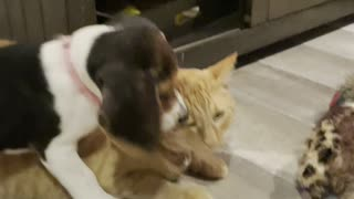 Beagle Puppy Meets Cat