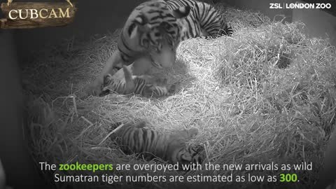 Moments After This Endangered Tiger Gives Birth To A Cub Cameras Catch The Impossible