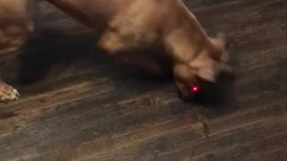 Dog Can't Catch the Red Dot  - Video
