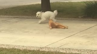 Dog Fights Cat Over Driveway Turf War