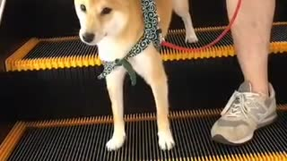 My dog knows an escalator makes her comfortable  - Video