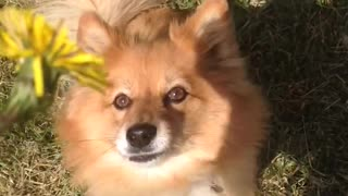 Small tan dog jumps at yellow flower  - Video