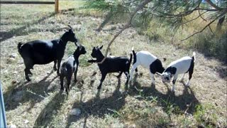 We Be Smart Goats  - Video