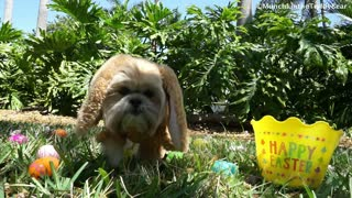 Munchkin the Teddy Bear is ready for Easter  - Video