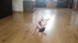 Boxing sphynx cat  - Video