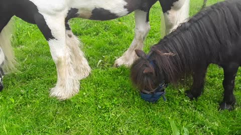 """GRAZING MUZZLES ARE GO !"" (Laminitis prevention"