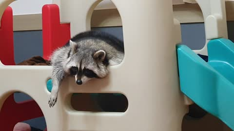Sleepy raccoon lies on a slide and makes an unusual sound.
