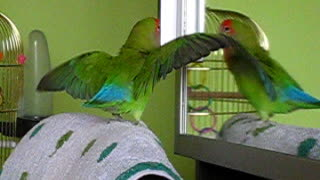 Dancing with the stars, funny Agapornis Parrot  - Video