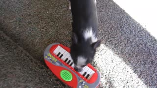 Mini pig plays the piano - Video