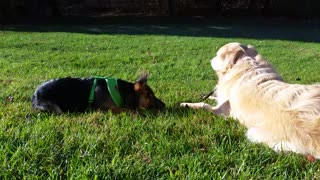 German Shepherd Puppy Wants to Steal Golden Retriever Dog's Stick & Chew On It  - Video