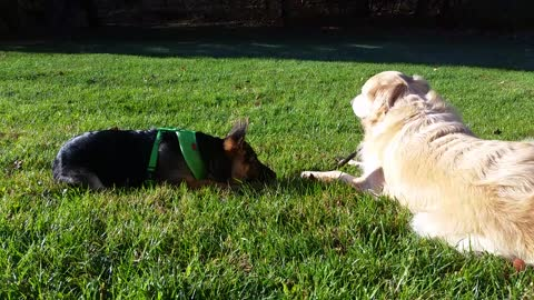German Shepherd Puppy Wants to Steal Golden Retriever Dog's Stick & Chew On It