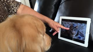 Golden retriever watch some cats on iPad
