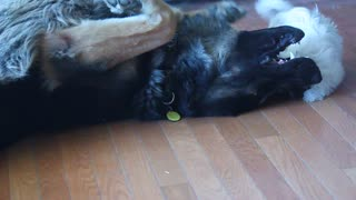 German Shepherd entertains tiny puppy - Video