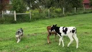 2 Cows And Dogs playing Together on The Farm