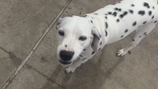 Zoey the Dalmatian smiles in slow motion