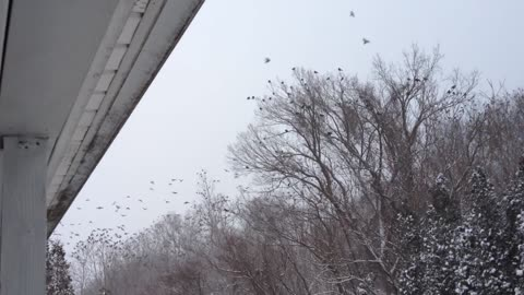 Creepy Crows