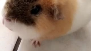 Guinea pig eating carrot - Video