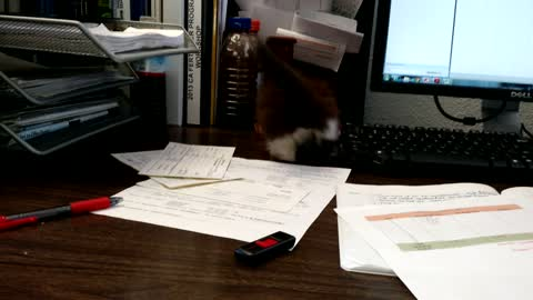 Rescued kitten turns office desk into playground