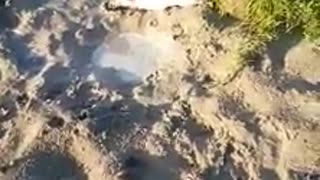 Just a little French Bulldog enjoying a mud bath.  - Video