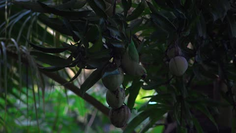 Parrots eating mangoes in the jungle-captures of nature with high-quality 4k