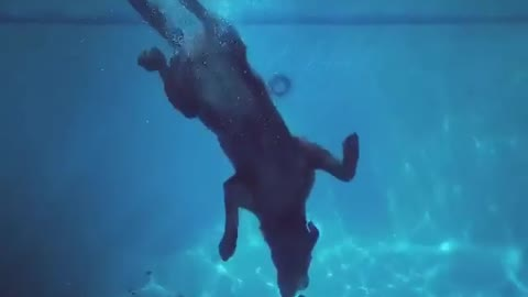 Diving Labrador Fetches Pool Toy From Deep End