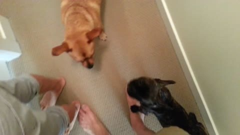 Dogs put on epic wrestling match