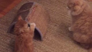 Kitten Shows Big Brother He's Boss! - Video