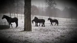 Stunning horses playing in first snow of the season
