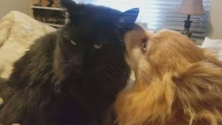 Cat not impressed with overly affectionate dog