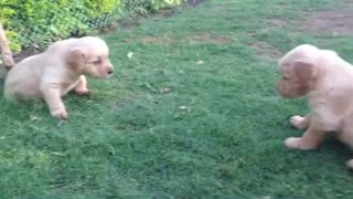 Cutest Golden Retriever Puppies!  - Video