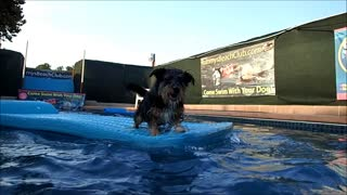 Terrier Ras catches splashes as Black Labrador Retriever Metta swims by - Video