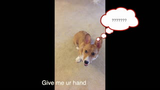Corgi puppy performs same trick for every command - Video