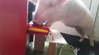 Moritz the piano-playing pig - Video