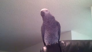 Parrot displays array of learned phrases and sounds - Video