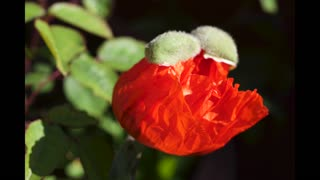 Time lapse: Poppy opening and closing - Video