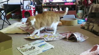 Senior cat really enjoys playing in newspaper