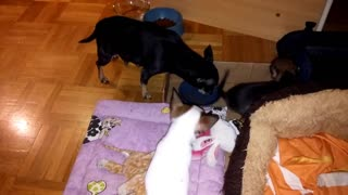 chihuahua dog puppy eats and barks - Video
