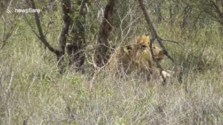 Mating lions chased by elephants - Video